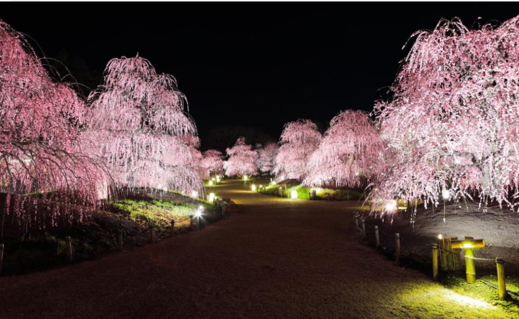 Plum blossom,cherry blossom