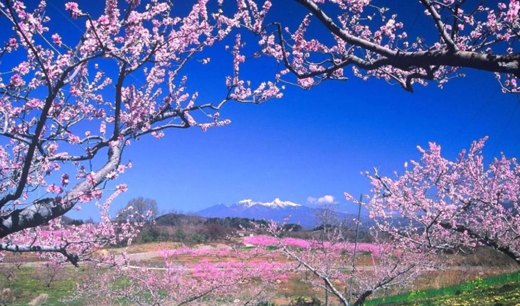 cherry blossom, peach blossom